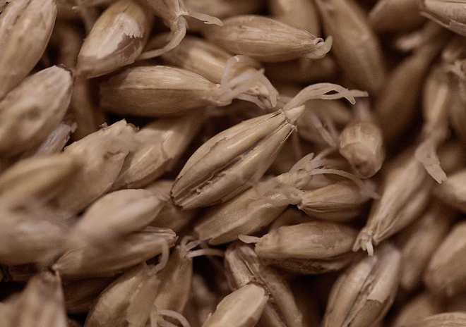Malta de cebada germinada